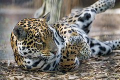 The jaguaress in a cute position