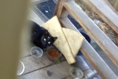 11/4/19 The little all-black cat who comes around now IMG_3877 copy