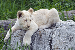 Lion cub on the roc