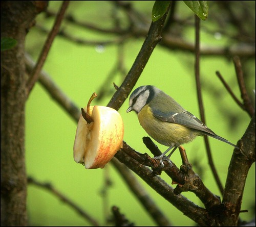 Blue tit with apple