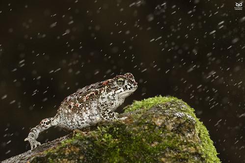 Sapo-corredor, Natterjack toad (Epidalea calamita)