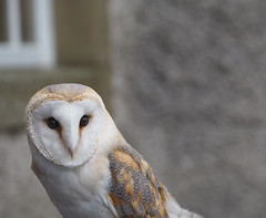Staring Down A Barn Owl