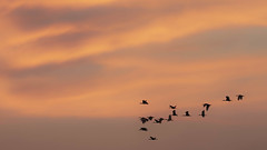 A flock of Ibis in the morning light