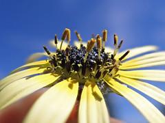 Arctotheca calendula flowerhead NC20