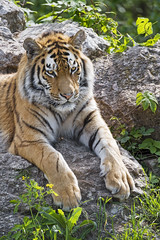 Another young tiger on the rock