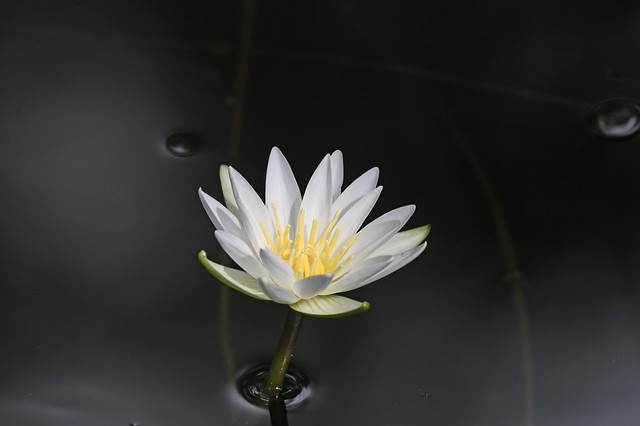 White Waterlily, Corkscrew Sanctuary, 2018-09-05--DSC_4923