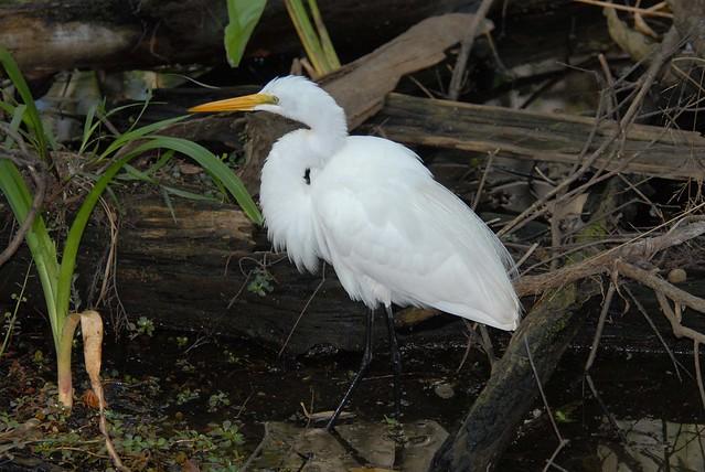 Great Egret, Corkscrew, 2007-02-18 -med res