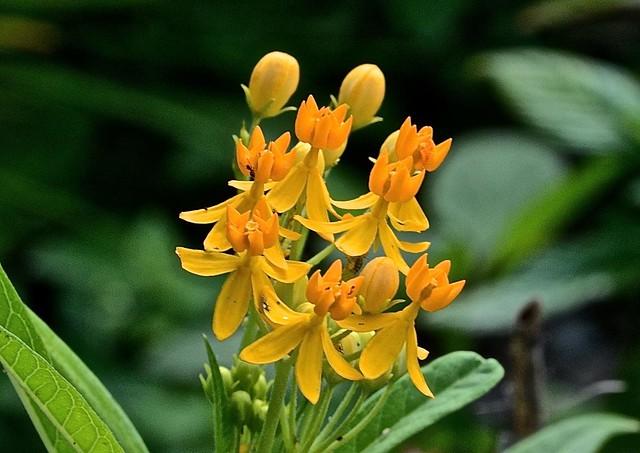 asclepias_tuberosa__butterfly_milkweed__lakes_park__ft._myers_2014-11-14_0