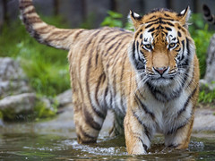 Young tiger standing in the water