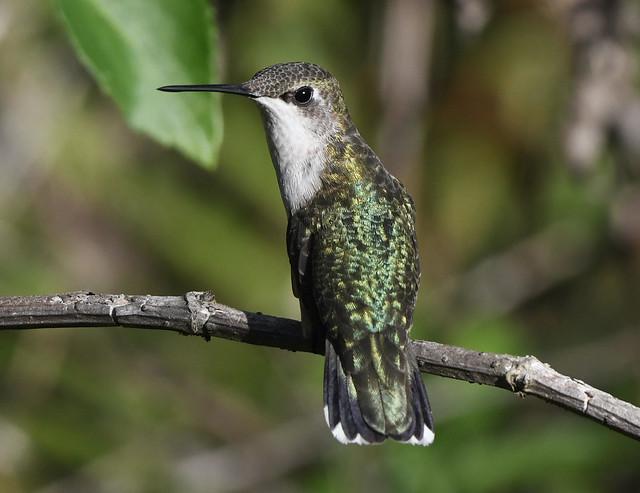 Ruby-throated-Hummingbird-female-2019-01-02