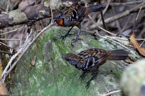 Australian Logrunners female and male_6632