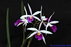 Brassavola tuberculata x Laelia purpurata