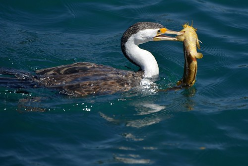 Pied Cormorant with Catfish_6144