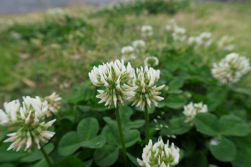 Trifolium repens flowerhead NC6
