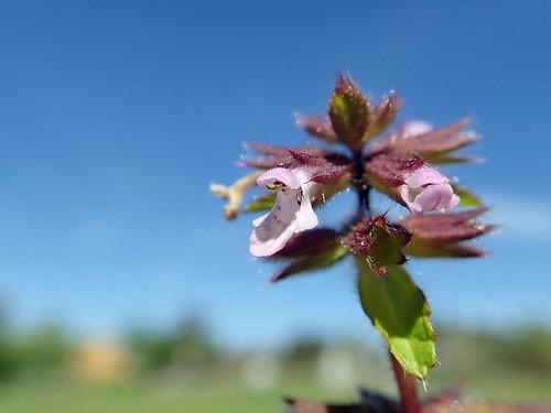 Stachys arvensis flower NC6