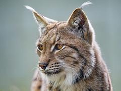 Last lynx portrait