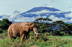 Slide copies April 1992, Amboseli, Kenya