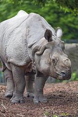 Young rhino standing