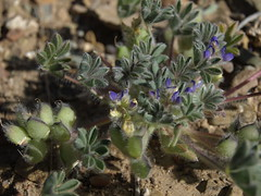 shortstem lupine, Lupinus brevicaulis