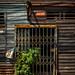 Plant Growing Through Gate,  Photo Walk #87, Tha Phra