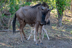Blaue Gnus / Blue Wildebeests