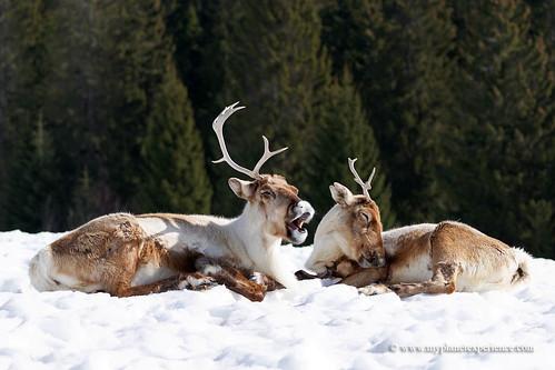 Santa Claus's reindeer !