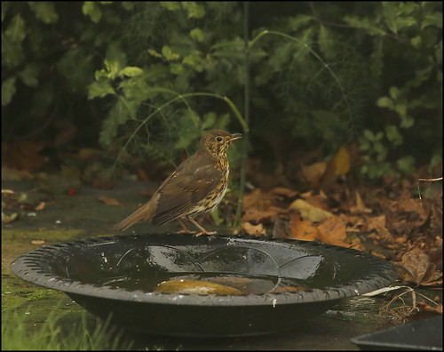 Songthrush bathing