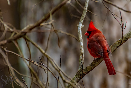 2019.12.21.8992 Cardinal in the Woods
