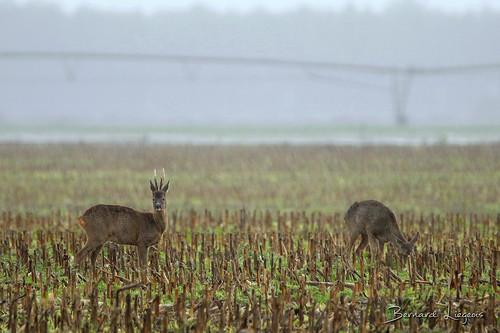 Capreolus capreolus | Chevreuil européen | Roe deer