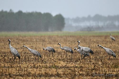 Grus grus | Grue cendrée | Common Crane | Grulla Común | Kranich