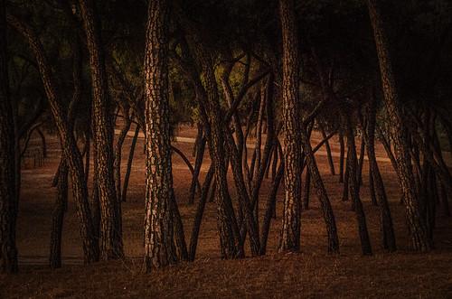 Pine wood at night