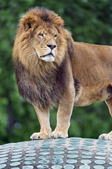 The male lion posing on the coupola
