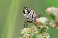 efferia aestuans (a fly)
