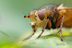 Sciomyzidae (marsh fly)