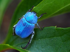 Hoplie bleue (Hoplia coerulea), Florac, Lozère, France - Photo of Vebron
