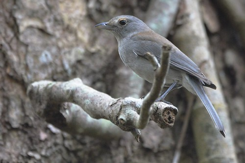 Grey Shrike-thrush_2870 (Colluricincla harmonica)