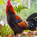 Red Junglefowl, Fort Canning Park, Singapore