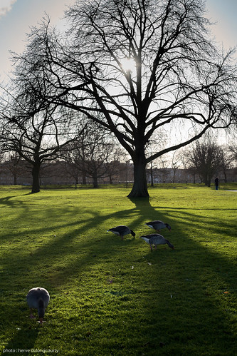Game Geese in Hyde Park