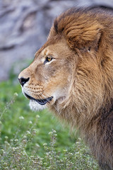 Profile of the male lion