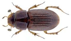 Aganocrossus hirtus (Bordat, 1992)