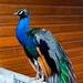 Peacock ,Bryan O_Shea,12pts