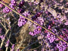 Beautyberry