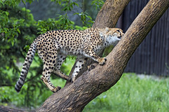 Young cheetah climbing on the tree
