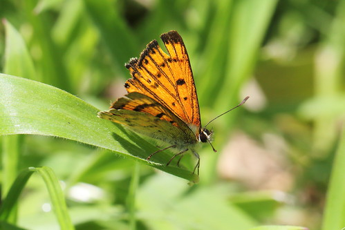Male Maui's copper butterfly (Lycaena edna)