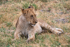 Löwejunges / Lion Cub