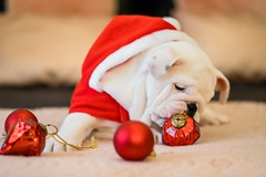 Close up photo of bulldog near ornaments - Credit to https://homegets.com/