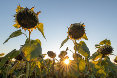 Sun shining through sunflowers