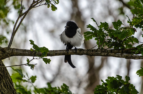 Fluffy magpie