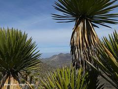 Sierra Real de Catorce, Kakteen