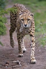 Cheetah walking on the way
